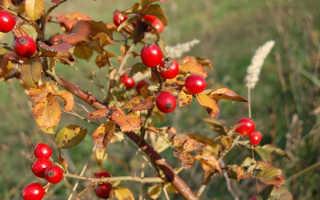 Плоды шиповника при похудении