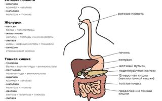 Пищеварительные ферменты при похудении