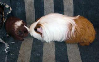 Как морской свинке похудеть